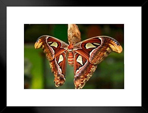 Poster Foundry The Atlas Moth Attacus Atlas Photo Art Print Matted Framed Wall Art 26x20 (Attacus Atlas)
