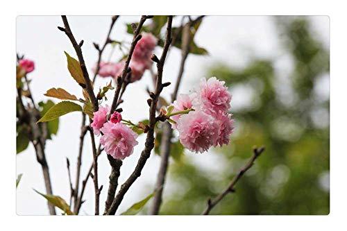 Tree26 Indoor Floor Rug/Mat (23.6 x 15.7 Inch) - Plant Cherry Blossoms Chrysanthemum Cherry Spring ()