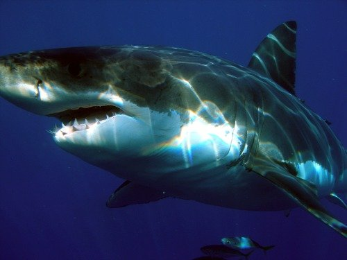 ConversationPrints GREAT WHITE SHARK GLOSSY POSTER PICTURE P