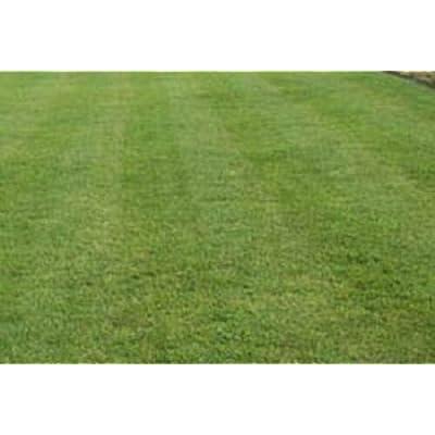 Zenith Zoysia Grass Seed- 1/8 lb : Garden & Outdoor