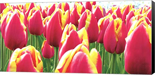 - Tulips by Jan Lens Canvas Art Wall Picture, Museum Wrapped with Black Sides, 40 x 20 inches