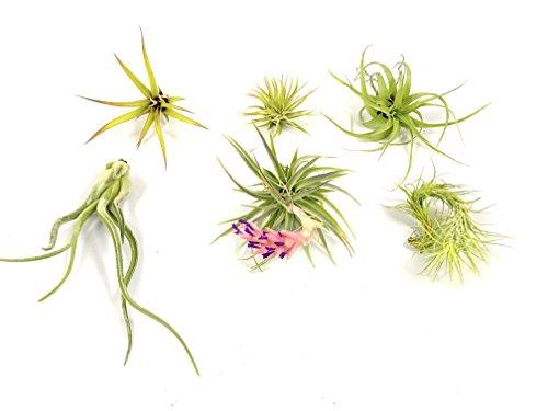 Air plants assortment live exotic tillandsia house plant for Low maintenance indoor flowering plants