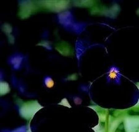 Viola Sorbet Black Delight Annual Seeds
