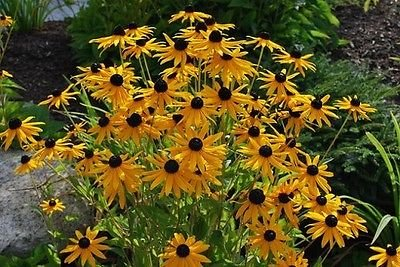 Black Eyed Susan Care