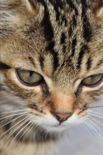 (Very Close-Up Portrait of a Gray-Striped Tabby Kitten Journal: 150 Page Lined Notebook/Diary)