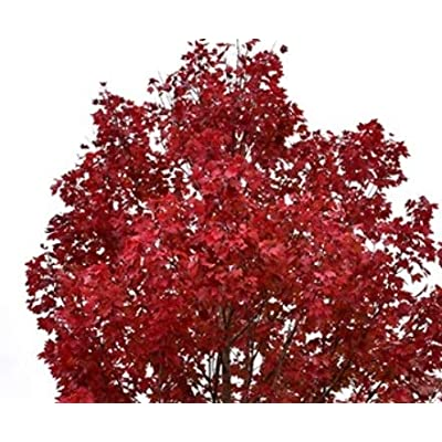 October Glory Red Maple Tree 2 Year Old 4-5 Ft Tall : Garden & Outdoor