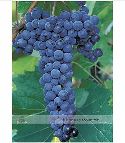 grape seedlings - 5