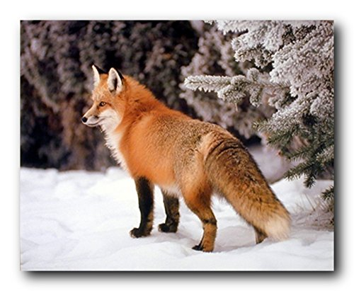 Red Fox in The Snow Wildlife Animal Art Print Poster (16x20) - Art Print Poster Measures 16x20 inches and is created using high quality paper. The printing process produces a vivid and detailed reproduction. Brand new Poster Published In USA. - wall-art, living-room-decor, living-room - 51%2B%2Bsn0WlXL -