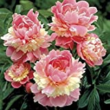 Sorbet Bareroot Peony, 2-3 Eye, Great for Fall Planting! (1)