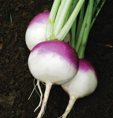 David's Garden Seeds Turnip Purple Top White Globe D705 (Multi) 500 Organic Heirloom Seeds