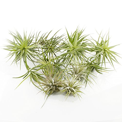 (Set of 12 Assorted Air Plants - Variety Pack of Tillandsia Air Plants for Terrariums, Hanging Planters, Home Decor)
