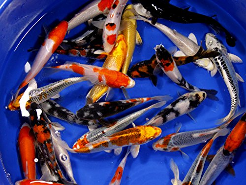 Kohaku Koi Fish (Live Koi Fish - Lot of 15 Assorted Standard Fin Premium Select AAA Quality Koi (4-5 inch) by Chalily)