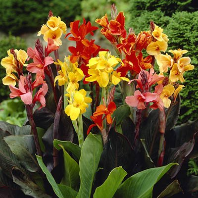 5 Exotic Mix Collection - Dwarf Canna - Bulbs/Roots/Rhizomes/Tubers/Plants ()