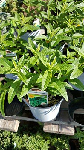 "9EzTropical - Lemon Verbena - Aloysia triphylla - 1 Plants - 4"" to 8"" Tall - Ship in 3"" Pot"
