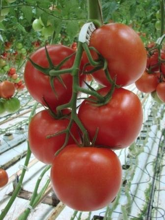 The 8 best hydroponic nutrients for tomato