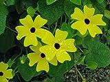 Thunbergia Seeds - Lemon A-Peel - Climbing Vine - Annual - 10 Seeds