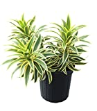 Dracaena reflexa 'Song of India', Pleomele, Dracaena reflexa 'Variegata' - 3 Gallon Live Plant