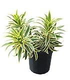 PlantVine Dracaena reflexa 'Song of India', Pleomele, Dracaena reflexa 'Variegata' - 10 Inch Pot (3 Gallon), Live Indoor Plant