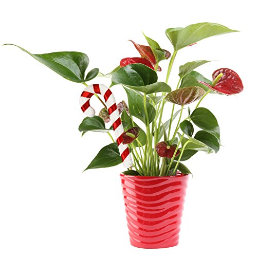 Costa Farms Live Red Anthurium, 12-Inches Tall, Ships in Red Ceramic Planter with Christmas Candy Cane Décor, Great as Holiday Gift or Christmas Decoration