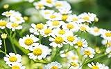 "Chamomile ""Matricaria Recutita"" 300 Seeds"