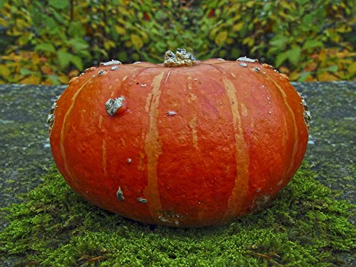 Home Comforts Canvas Print Great Pumpkin Cucurbita Maxima Autumn Pumpkin Vivid Imagery Stretched Canvas 10 x 14