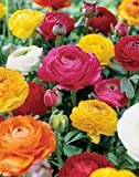 Van Zyverden Ranunculus Double Blooming Mixed Butter Cups Bulbs (Set of 25)
