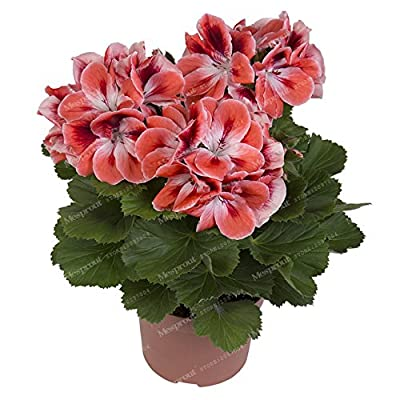 Kasuki 20Pcs/Bag Geranium Bonsai Flower Bonsai Perennial Flower Bonsai Pelargonium Peltatum Bonsai Potted Geranium for Home Garden - (Color: 18): Garden & Outdoor
