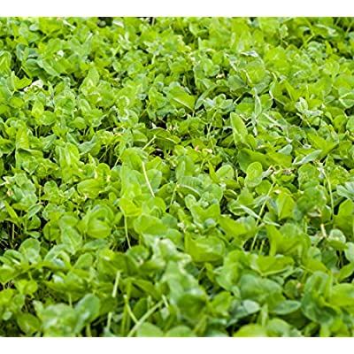 Outsidepride Clover King Seed - 5 LBS: Toys & Games