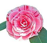 Dads Pink Camellia Japonica - Live Plant - Quart Pot