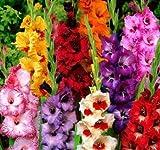 (30) Attractive Flowers, Gladiolus, Dwarf Low Growing Mix,Gladioli Bulbs, Plants 10-12CM