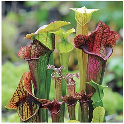 Sarracenia 1 Pack Seeds 1 Pack of Seeds Plant Carnivorous