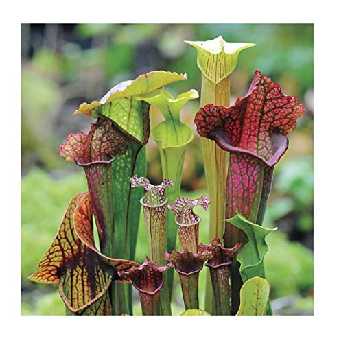 Park Seed Webbed Goblets and Chalices Pitcher Plant Seeds