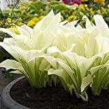 100 Pcs Hosta Seeds Perennial Plantaginea Fragrant Plantain Flower Hosta Seed for Planting Fire and Ice Shade White Lace Bonsai Home Garden Ground Cover Plant