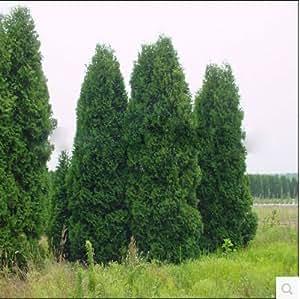 100pcs / lot Microbiota decussata, Siberia Alfombra Cypress, Arborvitae semillas de flor de la planta de los bonsai jardín de DIY