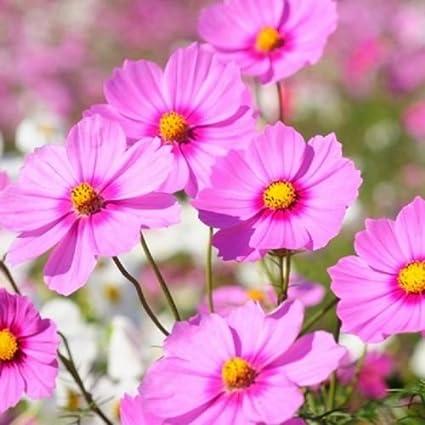 Amazon cosmos gloria 75 seeds beautiful bright pink flowers cosmos gloria 75 seeds beautiful bright pink flowers mightylinksfo