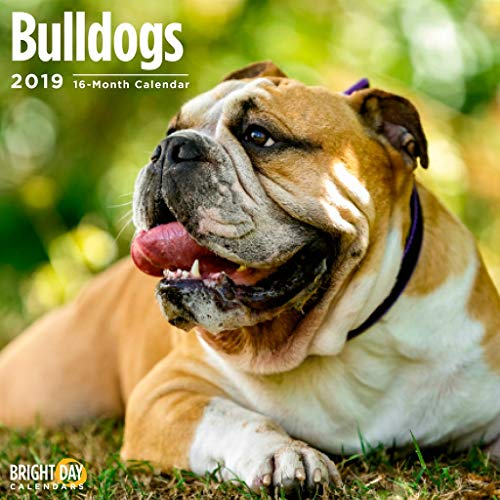 Bulldogs 2019 16 Month Wall Calendar 12 x 12 Inches