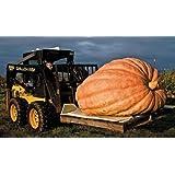 Atlantic Giant pumpkin 5 seeds World's Largest Pumpkin Non GMO CombSH F35