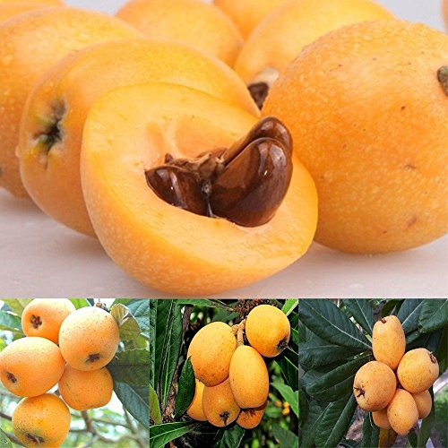 LOadSEcr's Garden 5Pcs Loquat Tree Seed Moistening Lung Relieving Cough Non-GMO Ornamental Plants Yard Office Decoration, Open Pollinated Seeds - Loquat Seeds