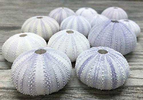 Sea Urchin | 12 Purple Sea Urchin Shell |12 Purple Sea Urchin Shells for Craft and Decor | Nautical Crush Trading TM