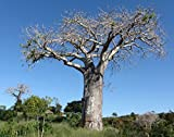 Special Adansonia Digitata - Baobab - Rare Tropical Plant Tree & Bonsai Seeds (5 Seeds)