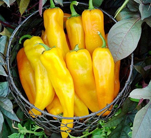 30+ ORGANICALLY GROWN GIANT Italian Golden Marconi Sweet Pepper Seeds Heirloom NON-GMO, Delicious! From USA (Long Italian Pepper Seeds compare prices)