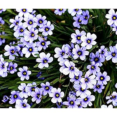 Blue Eyed Grass Sisyrinchium Bellum - 100 Seeds : Garden & Outdoor
