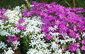 Phlox Seeds, Mountain Phlox, Annual Flower, Wildflower Seed, Heirloom Phlox 75ct