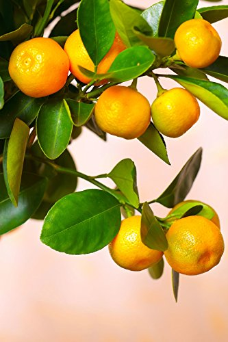 Calamondin Orange Tree, Mandarin Kumquat Hybrid Citrus (Excludes: CA,TX,LA,AZ) (Best Time To Plant Fruit Trees In Arizona)