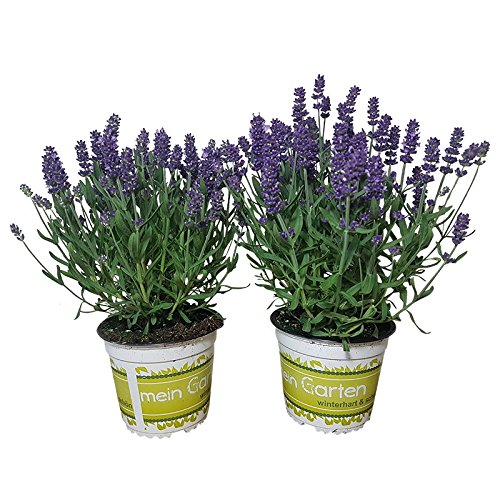 winterharter Lavendel f/ür lila Lavendel-Deko 2 echte Lavendelpflanzen Lavendelkr/äuter im 12 cm Topf frische Duftpflanzen