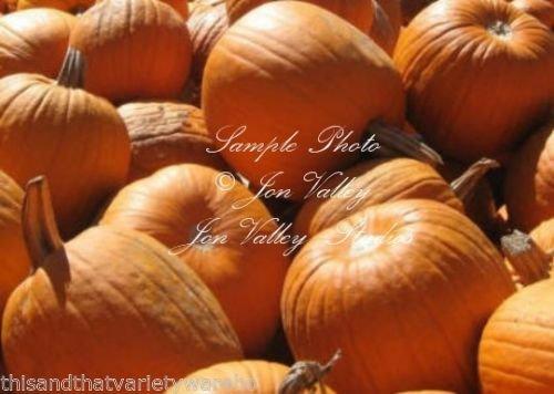 Connecticut Field Pumpkin Seeds Non GMO Deep Orange 15-20 LB High Yields