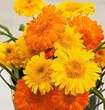 David's Garden Seeds Herb Calendula Princess Mix D1904A (Yellow) 100 Organic Seeds