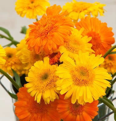 davids-garden-seeds-herb-calendula-princess-mix-d1904a-yellow-100-organic-seeds