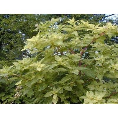 Cheap Fresh Pokeweed Seeds Phytolacca Americana Silberstein Variegated Get 5 Seeds Easy Grow #GRG01YN : Garden & Outdoor