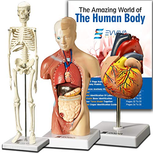 anatomy figures human buyer's guide for 2020